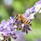 Bienen auf Blüte